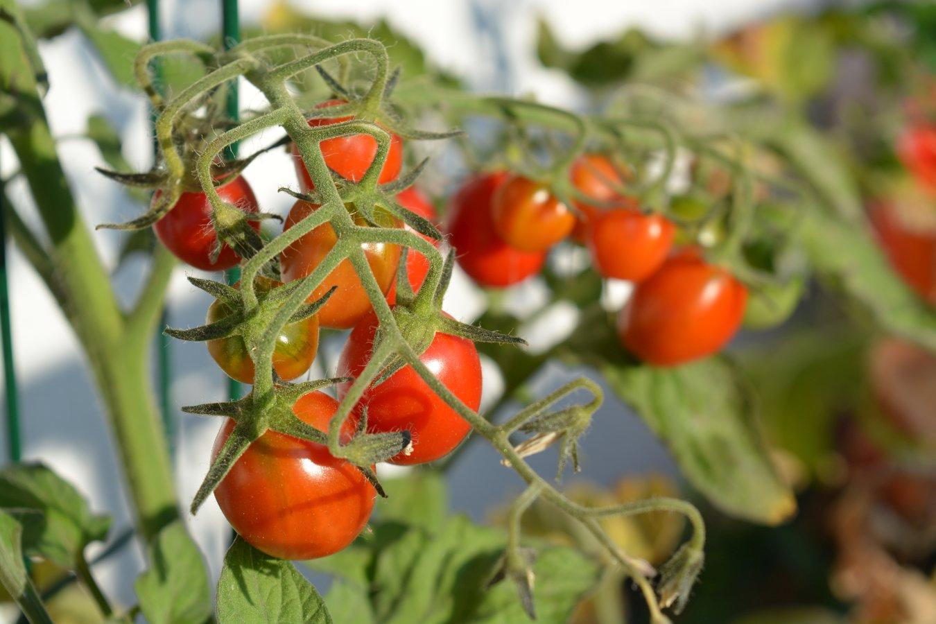 [Jede Menge Tomaten]