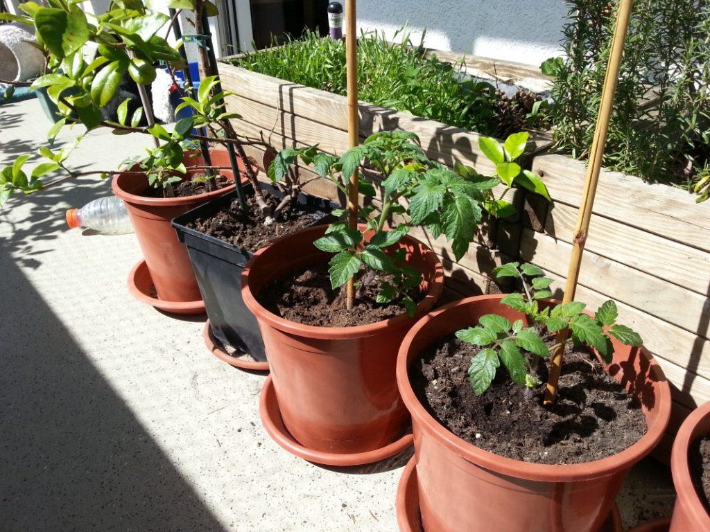 Tomaten in Töpfen