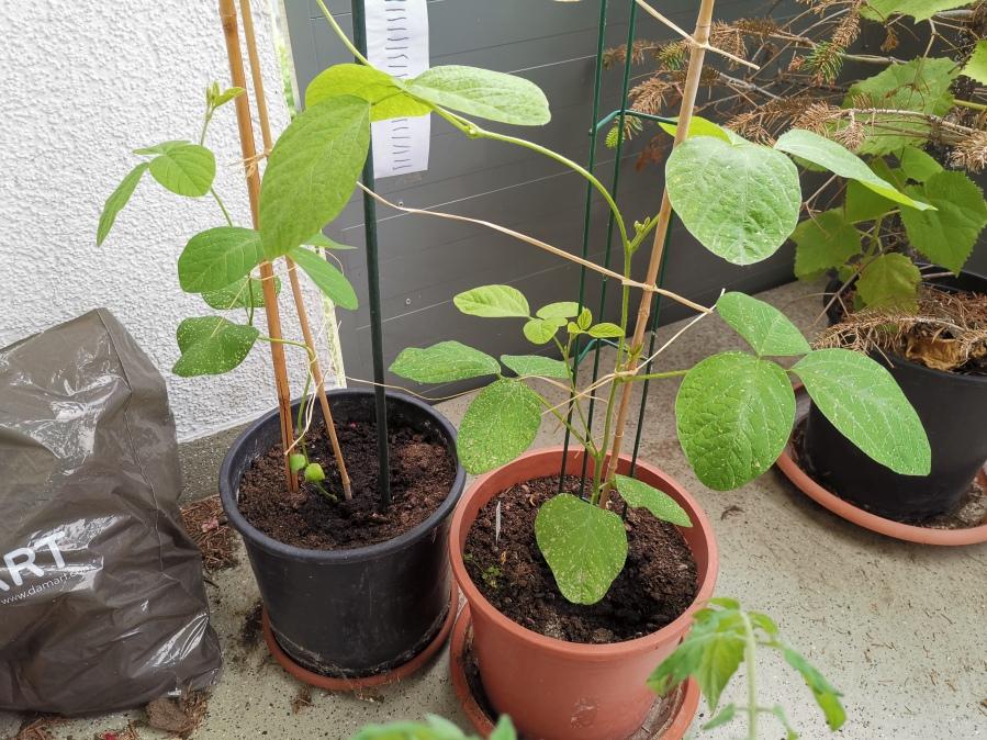 Edamamepflanzen