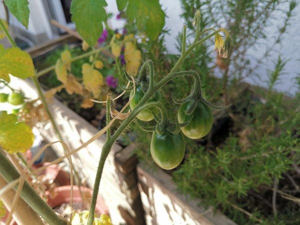 Tomaten an der Pflanze