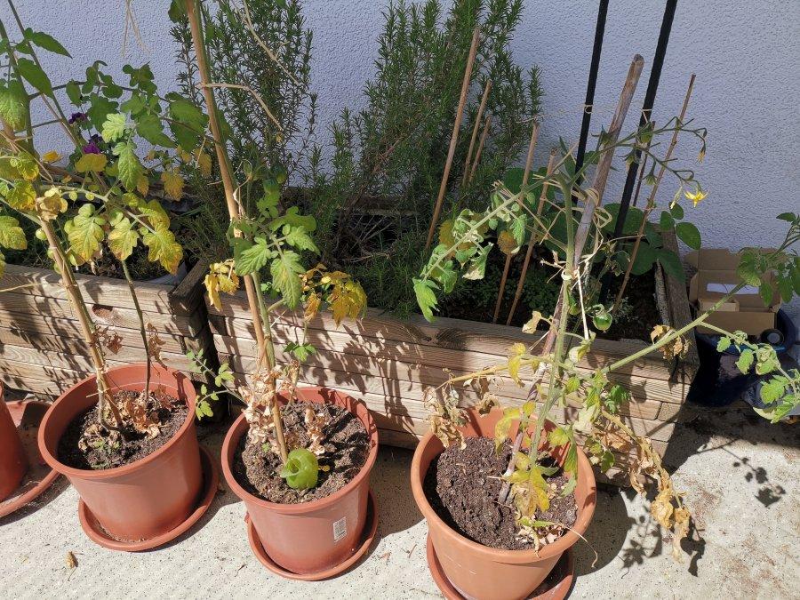 Drei Tomatenpflanzen