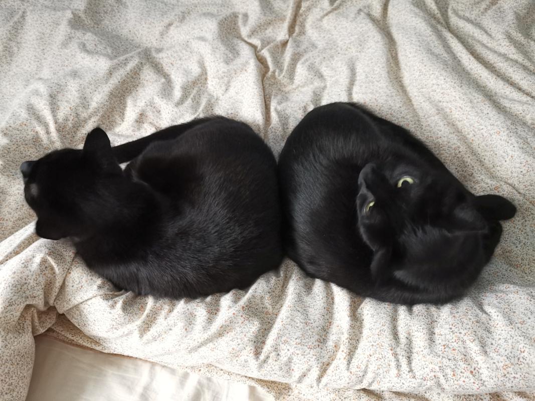 Zwei Kater auf dem Bett