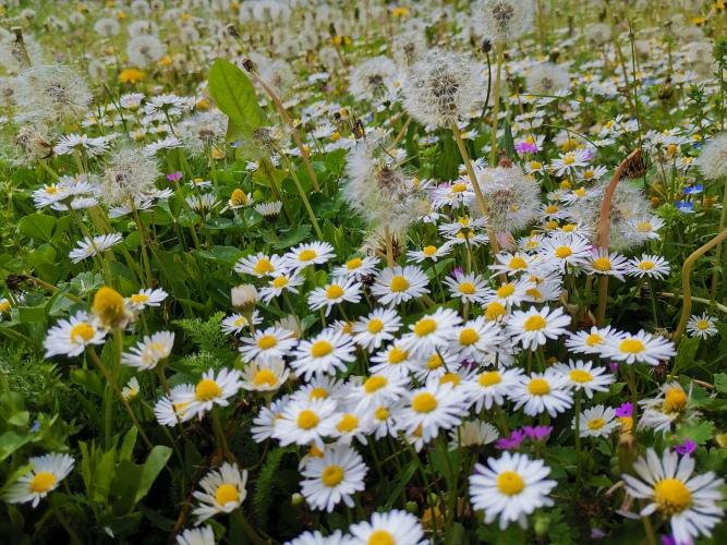 Blumenwiese mit Gänseblümchen