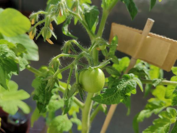 Eine Tomate am Strauch