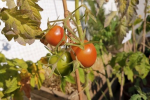 2021 KW 32 – Tomaten, Timelapse, Temperaturmessung